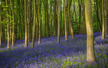 Ancient Bluebell Woods In Oxfo...