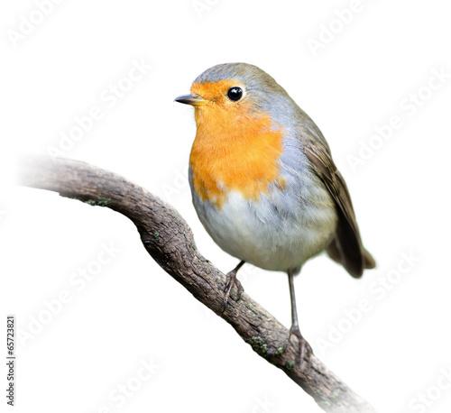 Robin on White Background Canvas Print