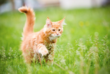 Red Maine Coon Kitten Walking On Grass