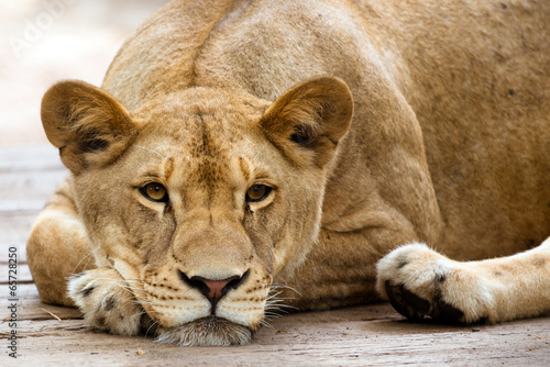 African lioness resting in the late afternoon Poster