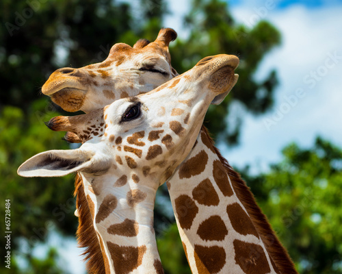 Photo  Adult giraffes grooming each other