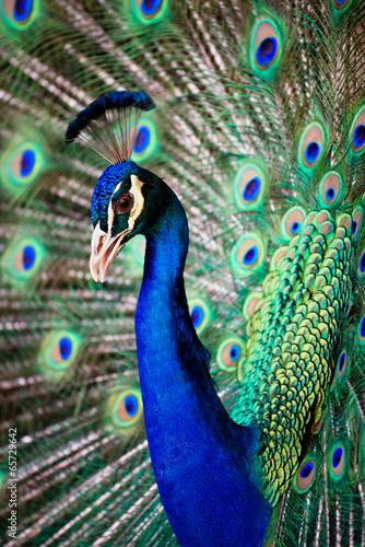 Fototapeta premium Portret pięknego pawia z piórami.