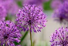 Allium Flowers Closeup