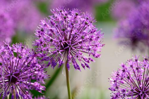 Photo Allium flowers closeup