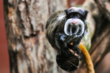 Emperor Tamarin Monkey Sitting On Branch With Its Tongue Out