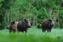 Wild Boars With Forest Backgro...