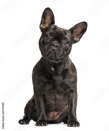 Poster Bouledogue français French Bulldog (1 years old)