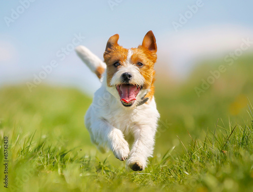 Photo  Jack Russell Terrier dog