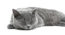 Sleeping Gray Cat (breed Scottish-straight) On A White Backgroun