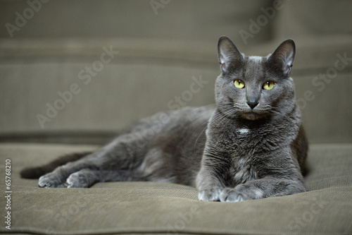 Korat Cat Laying