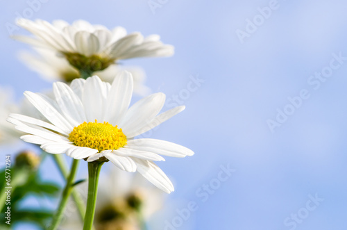 Tuinposter Madeliefjes white daisy