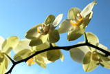 Fine branch of a blossoming yellow orchid