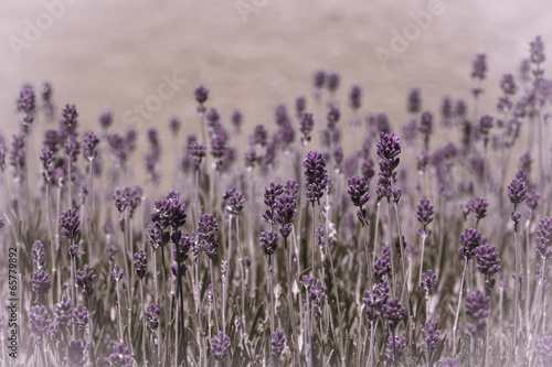 Fototapeta lavender essence obraz na płótnie