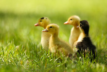 Little Cute Ducklings On Green...