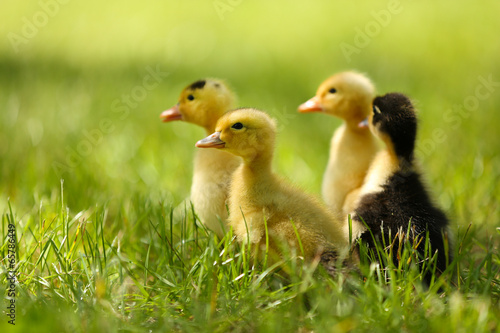 Valokuva  Little cute ducklings on green grass, outdoors