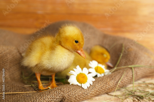 Little cute ducklings in barn Poster