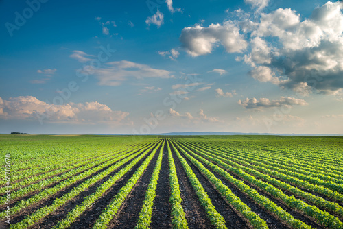 Photo Stands Culture Soybean Field