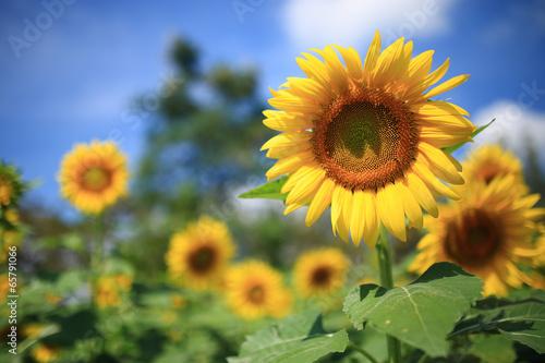 Fotobehang Bloemen sunflower