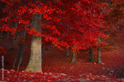 Foto auf Gartenposter Violett rot Red trees in the forest during fall