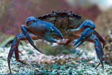 Crab Underwater