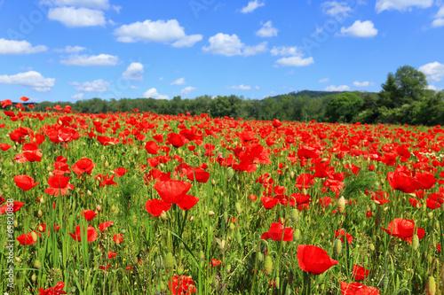 Fototapeta Spring Meadow fully of red Weed obraz na płótnie