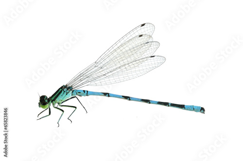 Dragonfly Coenagrion hastulatum (male)