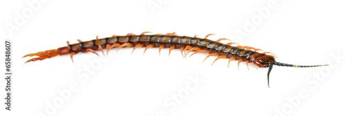 Carta da parati Centipede Isolated