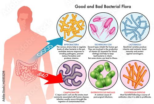 Fotografia  buona e cattiva flora batterica intestinale
