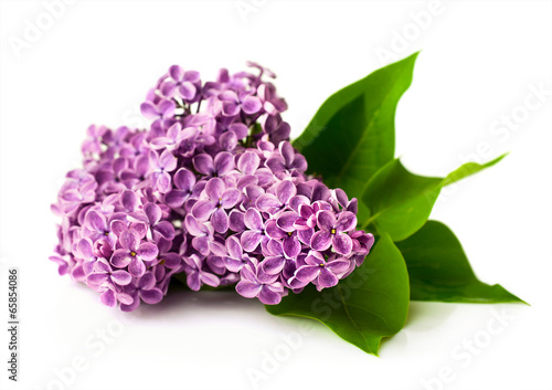 Photo sur Aluminium Lilac Lilac branch