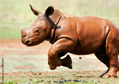 Fotografija  Cute baby wild White Rhino running through the mud