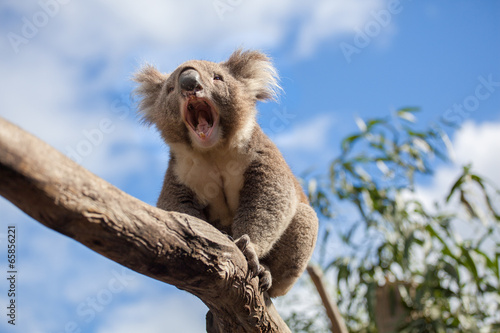 Koala sitting and yawning on a branch.
