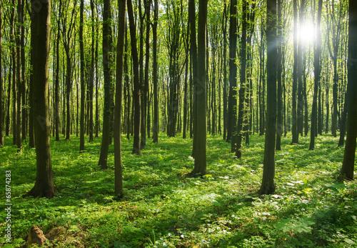drzewa leśne. natura zielone światło słoneczne drewna tła.