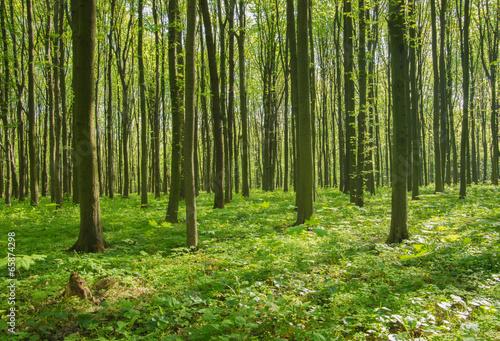 Garden Poster Forest forest in spring