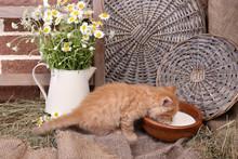 Cute Little Red Kitten Drinking Milk On Barn Wall Background