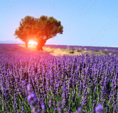 Fototapety, obrazy: Lavender field. The plateau of Valensole in Provence