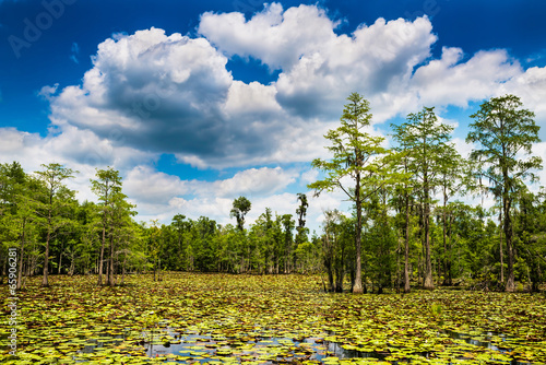 Stampa su Tela Summer swamp scene with cypress trees and blooming lilly pads
