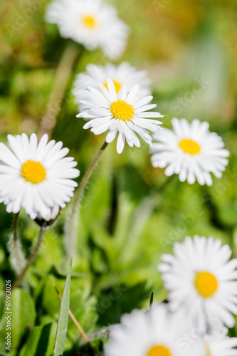 In de dag Madeliefjes Summer field with white daisies