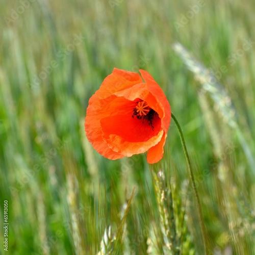 czerwony-mak-pojedynczy-kwiat