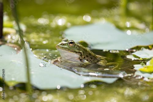 Poster de jardin Nénuphars frog in the lake
