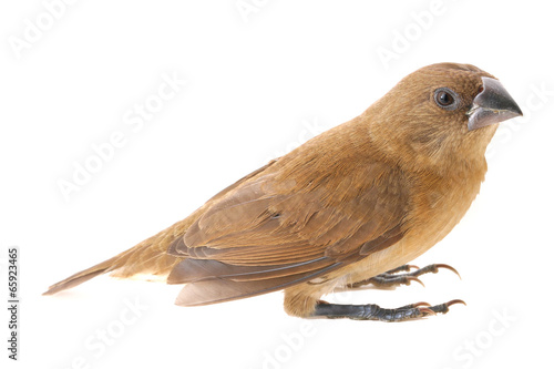 Savi's warbler Bird looking to the left isolated on white Fototapete