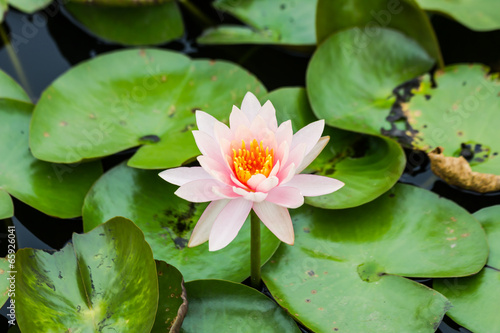 Photo Stands Water lilies Beautiful waterlily or lotus flower in pond