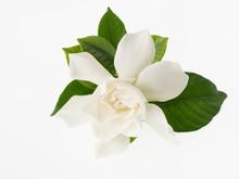 美しい姫梔子の花