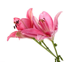 Beautiful Pink Lily Flowers, I...
