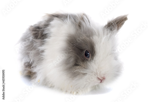 angora rabbit Canvas Print