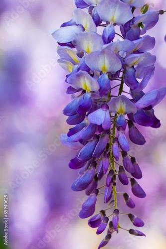 Fotobehang Lavendel Glicine di primavera
