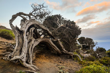 Gnarled Juniper Tree Shaped By...