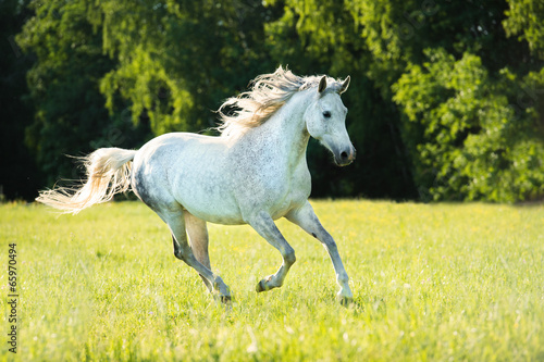 Fényképezés  White Arabian horse runs gallop in the sunset light