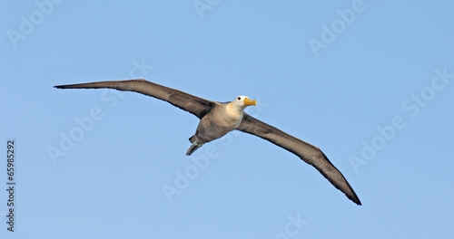 Fotografija  Waved Albatross flying, Galapagos Islands, Ecuador