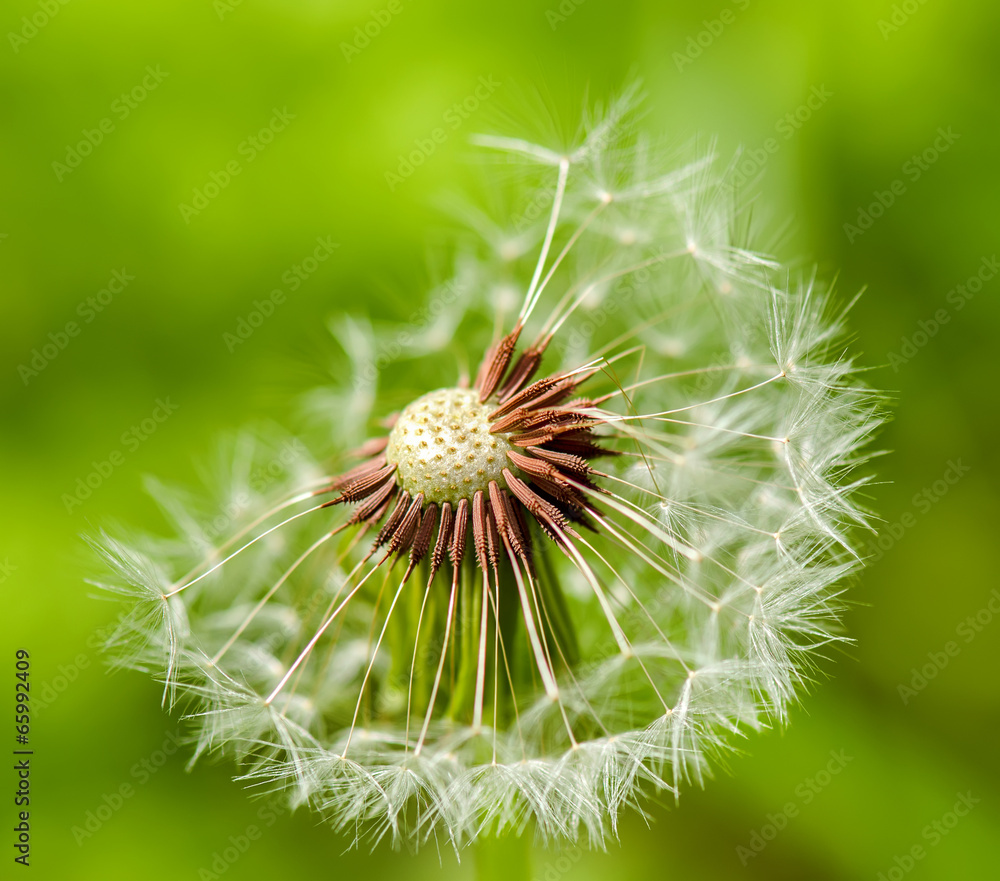 Fototapeta Dandelion on a green background