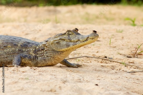 Recess Fitting Chameleon Cayman Alligator with Beetle on Nose and Eye